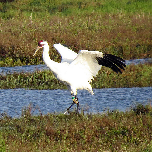 Whooping Crane with transmitter by Don Faulkner CC BY-SA